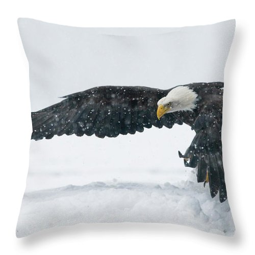 Alaska Throw Pillow featuring the photograph Bald Eagle Haliaeetus Leucocephalus by Josh Miller