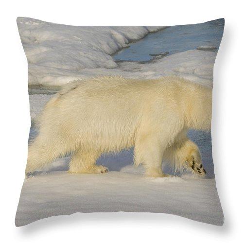 Polar Bear Throw Pillow featuring the photograph Polar Bear Walking On Ice by John Shaw