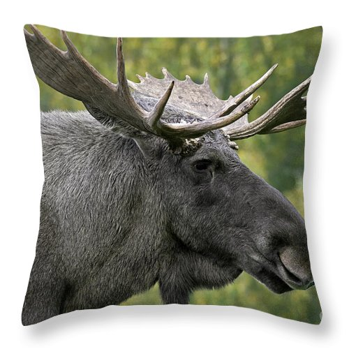 Moose Throw Pillow featuring the photograph 111216p113 by Arterra Picture Library