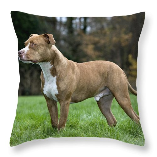 American Staffordshire Terrier Throw Pillow featuring the photograph 111216p245 by Arterra Picture Library