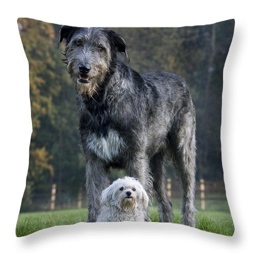 Irish Wolfhound Throw Pillow featuring the photograph 111216p251 by Arterra Picture Library
