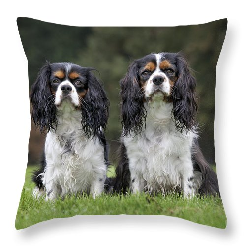 Cavalier King Charles Spaniel Throw Pillow featuring the photograph 111216p253 by Arterra Picture Library
