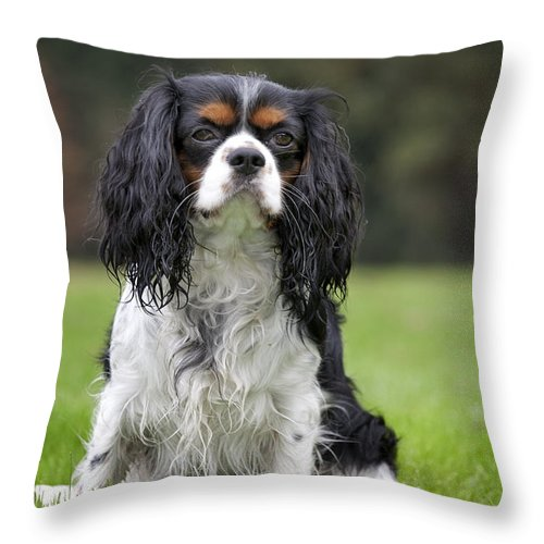 Cavalier King Charles Spaniel Throw Pillow featuring the photograph 111216p255 by Arterra Picture Library