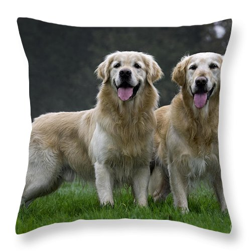 Golden Retriever Throw Pillow featuring the photograph 111230p058 by Arterra Picture Library