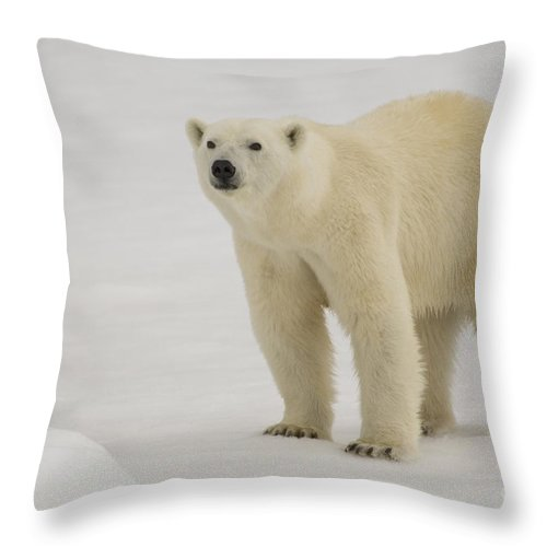 Polar Bear Cub Throw Pillow featuring the photograph Polar Bear Walking On Ice by John Shaw