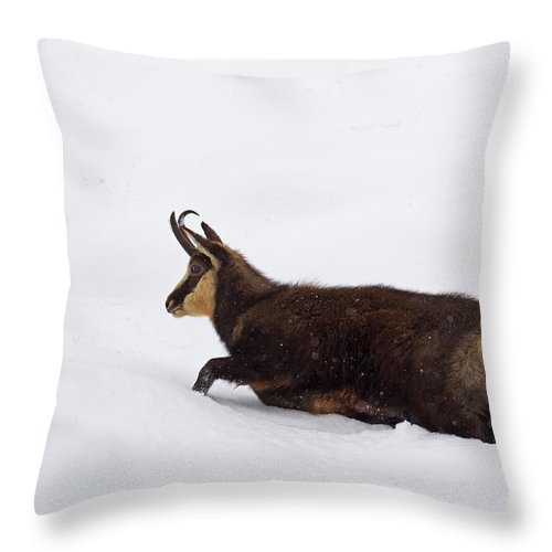 Chamois Throw Pillow featuring the photograph 130201p200 by Arterra Picture Library