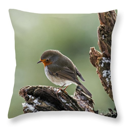 European Robin Throw Pillow featuring the photograph 130215p300 by Arterra Picture Library