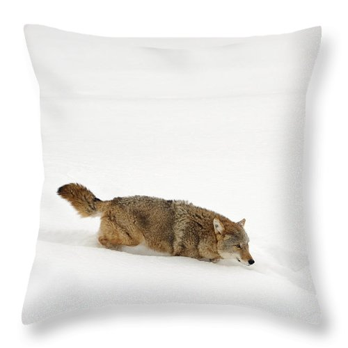Canis Latrans Throw Pillow featuring the photograph Coyote by John Shaw