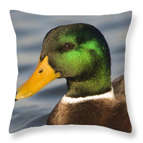 Nature Throw Pillow featuring the photograph Mallard Duck by John Shaw