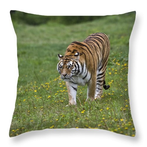 Asia Throw Pillow featuring the photograph Siberian Tiger, China by John Shaw