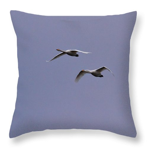 Lehto Throw Pillow featuring the photograph Whooper Swan by Jouko Lehto