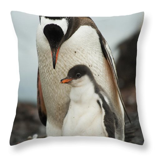 Penguin Throw Pillow featuring the photograph Gentoo Penguin With Young by John Shaw