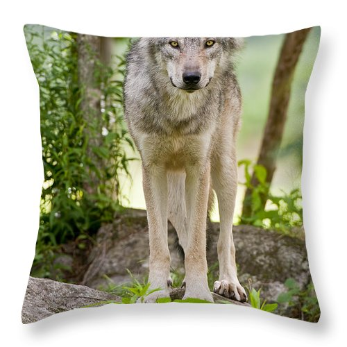 Timber Wolf Photography Throw Pillow featuring the photograph Timber Wolf by Wolves Only