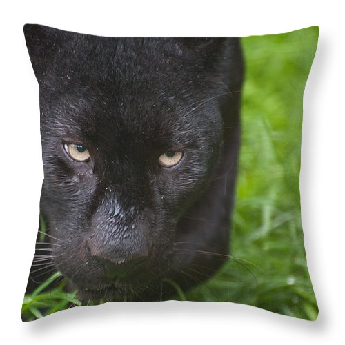 Cat Throw Pillow featuring the photograph Black Leopard by Matthew Gibson