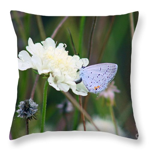 Eastern Tailed Blue Throw Pillow featuring the photograph Eastern Tailed Blue Butterfly On Pincushion Flower by Karen Adams