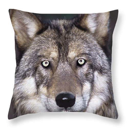 Gray Wolf Throw Pillow featuring the photograph Gray Wolf Portrait Endangered Species Wildlife Rescue by Dave Welling