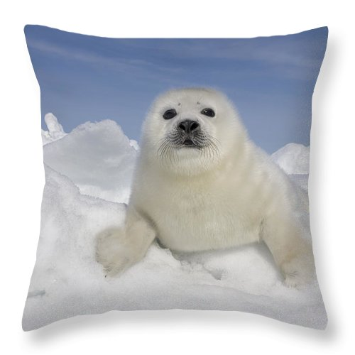 531549 Throw Pillow featuring the photograph Harp Seal Pup Gulf Of Saint Lawrence by Ingo Arndt