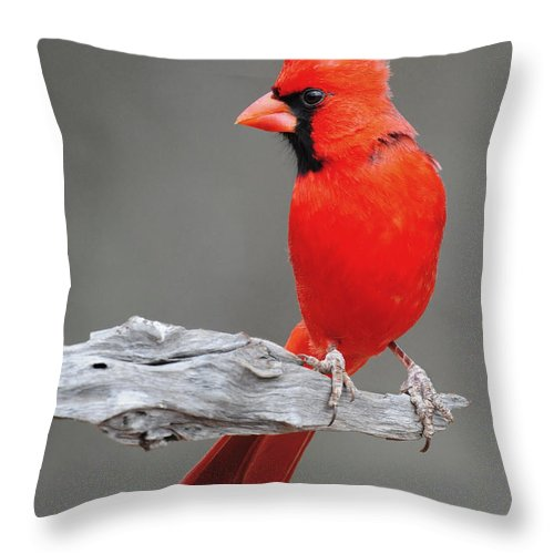 Cardinal Throw Pillow featuring the photograph Male Cardinal by Dave Mills