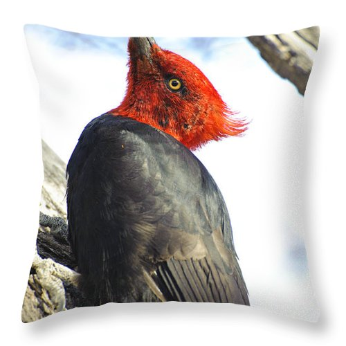 Argentinean Fauna Throw Pillow featuring the photograph Male Magellanic Woodpecker by John Shaw