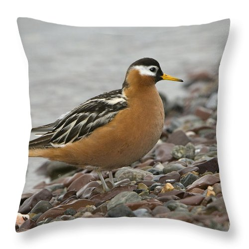 Red Phalarope Throw Pillow featuring the photograph Red Phalarope by John Shaw