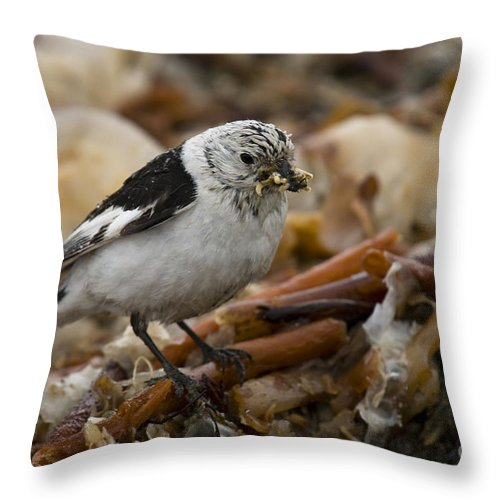 Arctic Throw Pillow featuring the photograph Snow Bunting by John Shaw