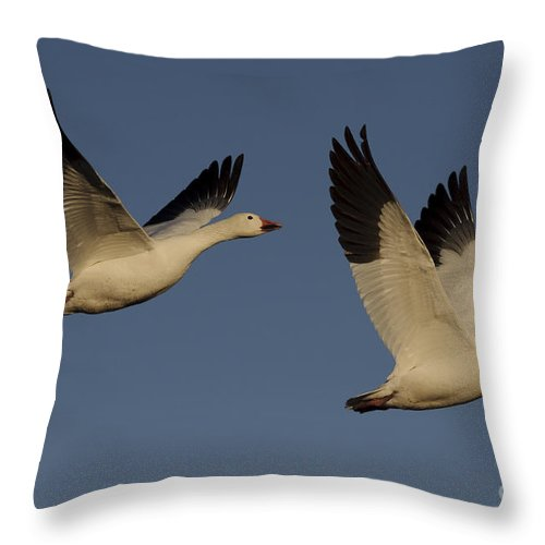 Blue Goose Throw Pillow featuring the photograph Snow Geese by John Shaw