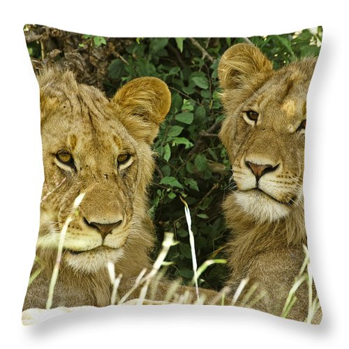 Lion Throw Pillow featuring the photograph Young Brothers by Michele Burgess