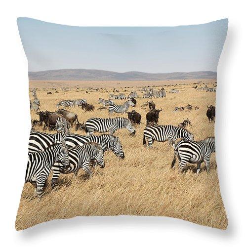 Plains Throw Pillow featuring the photograph Zebra Migration Maasai Mara Kenya by Carole-Anne Fooks