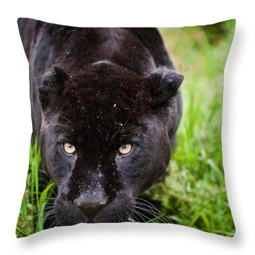 Cat Throw Pillow featuring the photograph Black Jaguar by Matthew Gibson