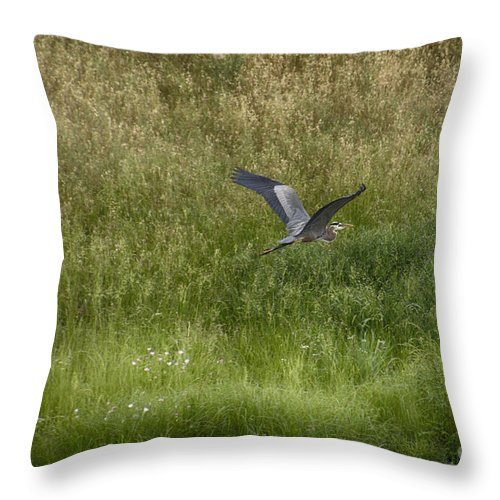 Blue Heron Throw Pillow featuring the photograph Blue Heron In Flight by Douglas Barnard