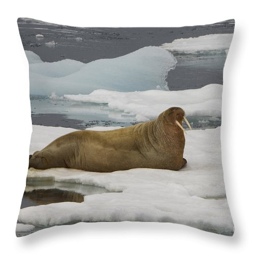 Walrus Throw Pillow featuring the photograph Walrus Resting On Ice Floe by John Shaw