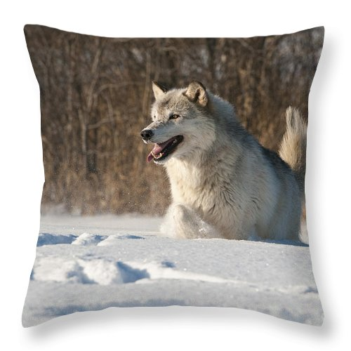 Canis Lupus Throw Pillow featuring the photograph Wolf In Winter by John Shaw