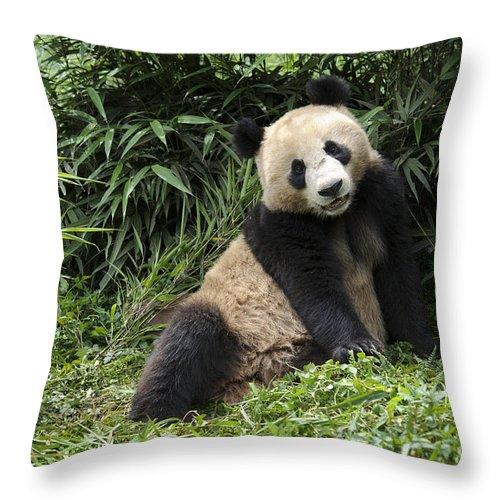 Ailuropoda Melanoleuca Throw Pillow featuring the photograph Giant Panda by John Shaw