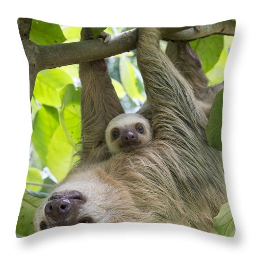 Suzi Eszterhas Throw Pillow featuring the photograph Hoffmanns Two-toed Sloth And Old Baby by Suzi Eszterhas