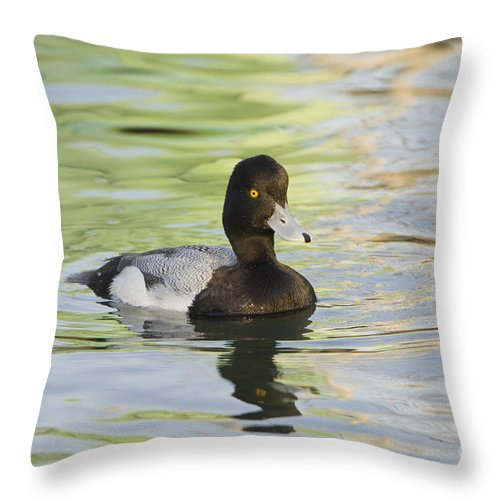 Nature Throw Pillow featuring the photograph Lesser Scaup by John Shaw