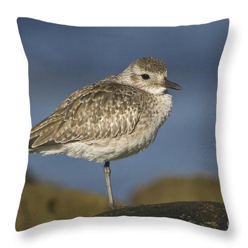Black-bellied Plover Throw Pillow featuring the photograph Black-bellied Plover by John Shaw
