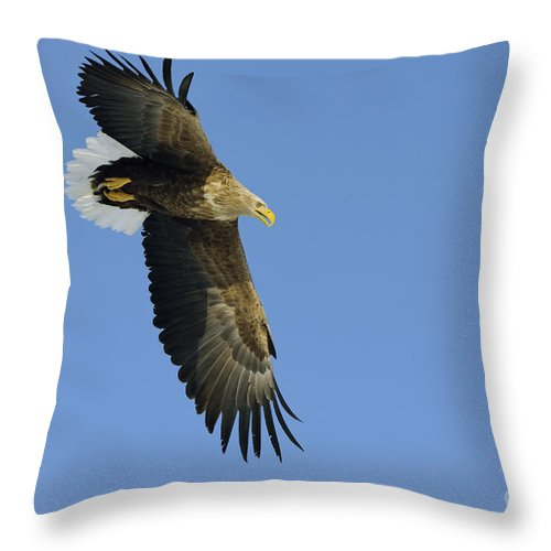 Haliaeetus Albicilla Throw Pillow featuring the photograph White-tailed Eagle by John Shaw