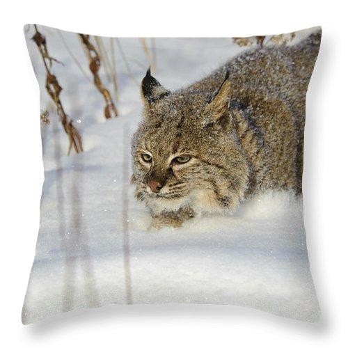 Lynx Rufus Throw Pillow featuring the photograph Bobcat by John Shaw