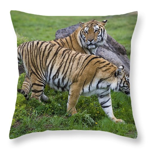 Asia Throw Pillow featuring the photograph Siberian Tigers, China by John Shaw