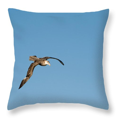 Southern Giant Petrel Throw Pillow featuring the photograph Southern Giant Petrel by John Shaw
