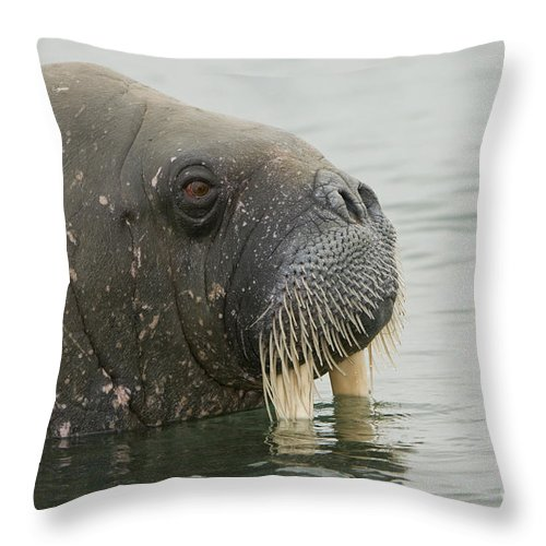 Arctic Throw Pillow featuring the photograph Walrus by John Shaw