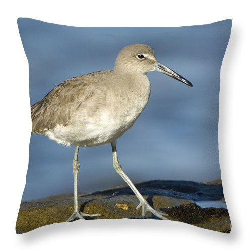 Nature Throw Pillow featuring the photograph Willet by John Shaw
