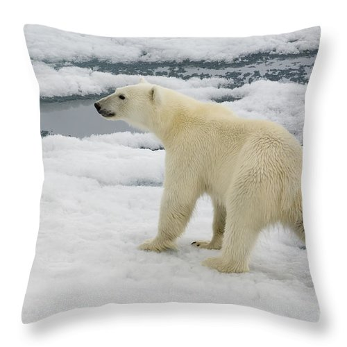 Polar Bear Throw Pillow featuring the photograph Polar Bear Crossing Ice Floe by John Shaw