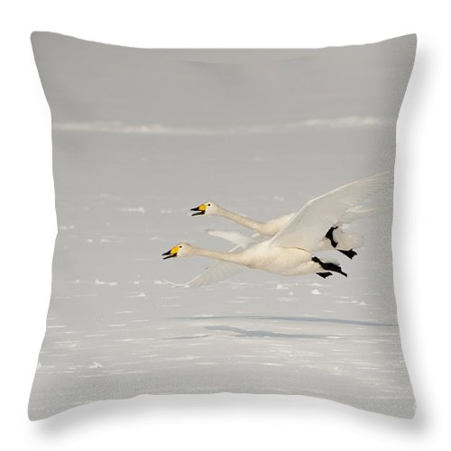 Cygnus Cygnus Throw Pillow featuring the photograph Whooper Swans by John Shaw