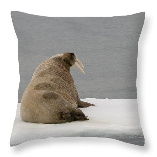 Arctic Throw Pillow featuring the photograph Walrus On Ice Floe by John Shaw