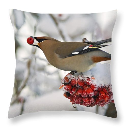 Cold Throw Pillow featuring the photograph A Bohemian Waxwing Feeding On Mountain by Brian Guzzetti