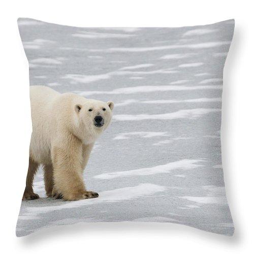 Bear Throw Pillow featuring the photograph A Polar Bear On Hudson Bay by Keith Levit