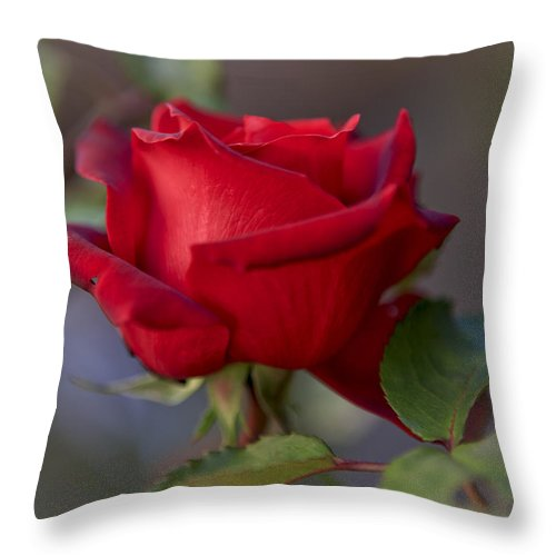A Single Red Rose Throw Pillow featuring the photograph A Single Red Rose by Her Arts Desire