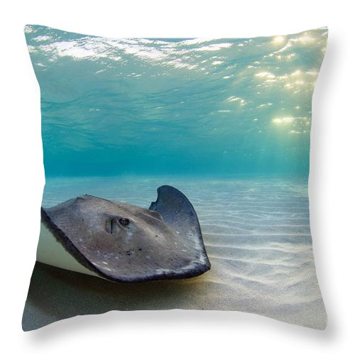 Stingray Throw Pillow featuring the photograph A Southern Stingray by Alex Mustard