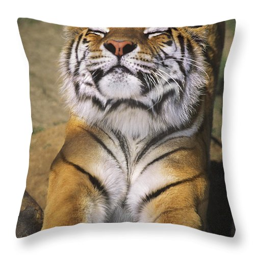Siberian Tiger Throw Pillow featuring the photograph A Tough Day Siberian Tiger Endangered Species Wildlife Rescue by Dave Welling